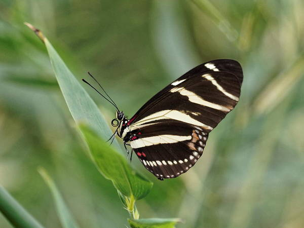 Poster featuring the photograph Zebra Longwing Butterfly - 2 by Paul Gulliver