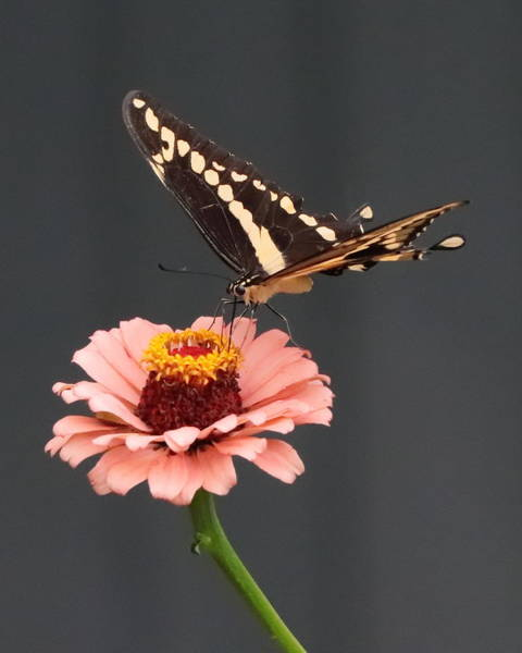Zinnia With Butterfly 2702 Poster