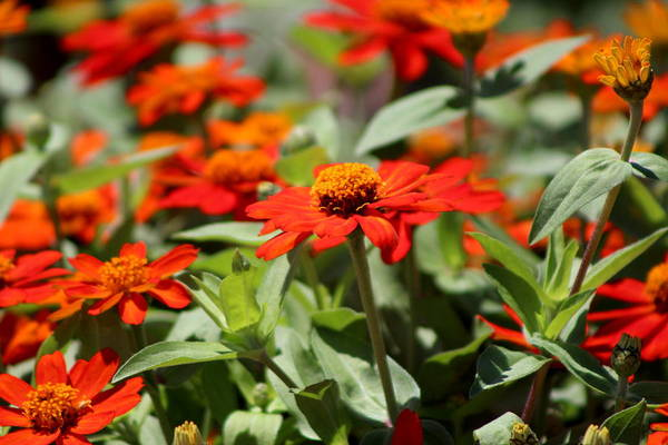 Zinnias In Autumn Colors Poster