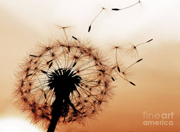 A Dandelion Blowing Seeds In The Wind Poster