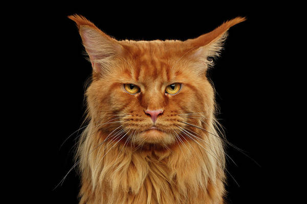 Angry Ginger Maine Coon Cat Gazing On Black Background Poster