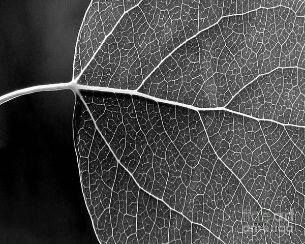 Aspen Leaf Veins Poster