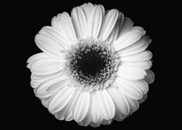 Poster featuring the photograph Black And White Flower by Mirko Chessari