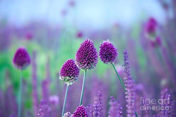 Chive Herb Flowers - Allium Poster
