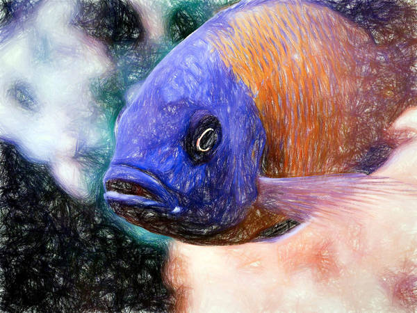 Colored Pencil Red Fin Borleyi Cichlid Poster