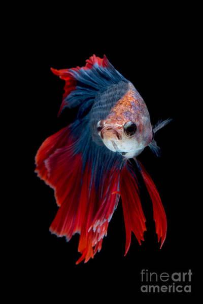 Colourful Betta Fish,siamese Fighting Poster