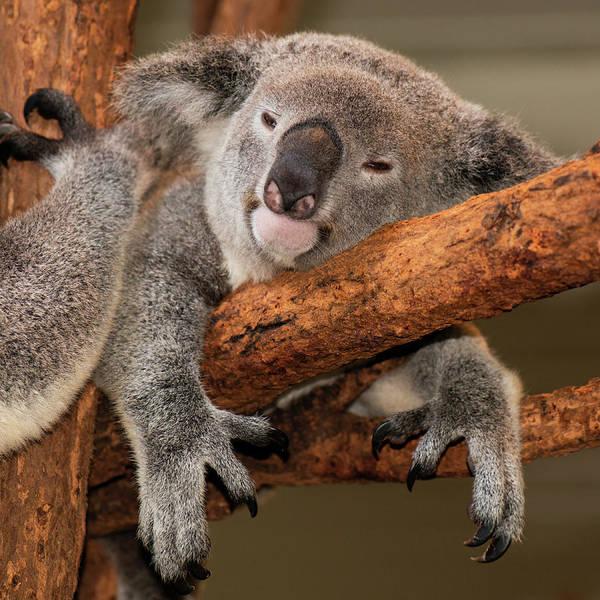 Cute Australian Koala Resting During The Day. Poster