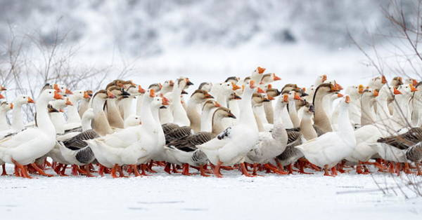 Domestic Geese Outdoor In Winter Poster