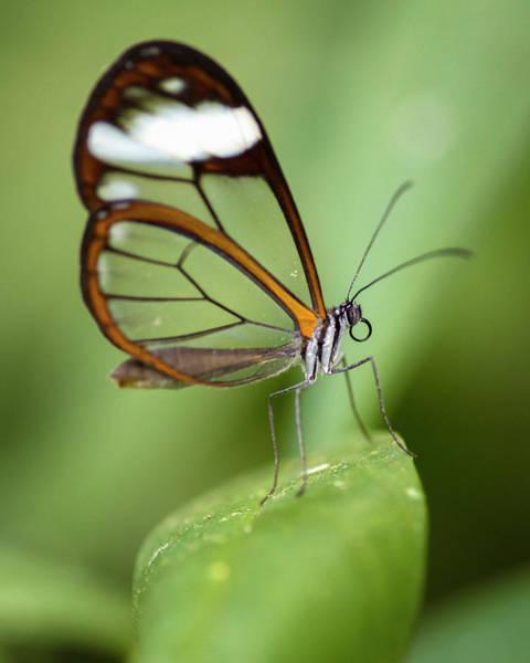 Glasswing Butterfly Jardin Botanico Del Quindio Calarca Colombia Poster