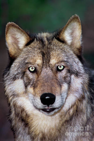 Gray Wolf Portrait Endangered Species Wildlife Rescue Poster