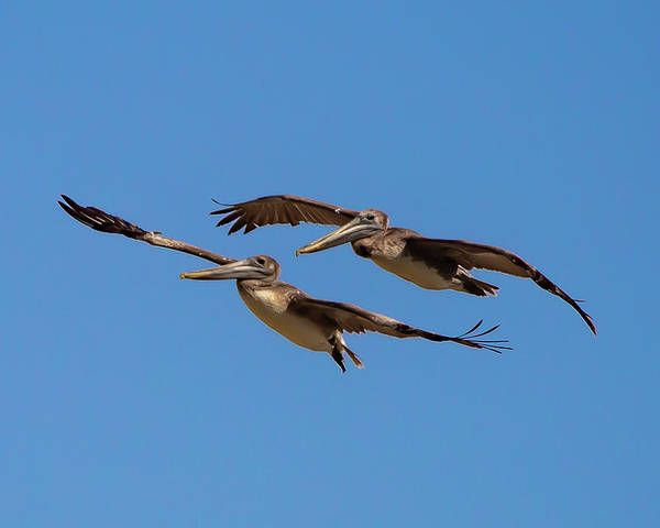 Poster featuring the photograph Outer Banks Pelicans by Lora J Wilson