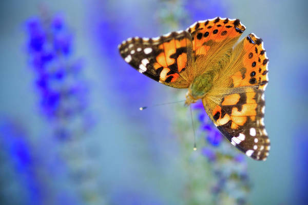 Poster featuring the photograph Painted Lady Butterfly by Nicole Young