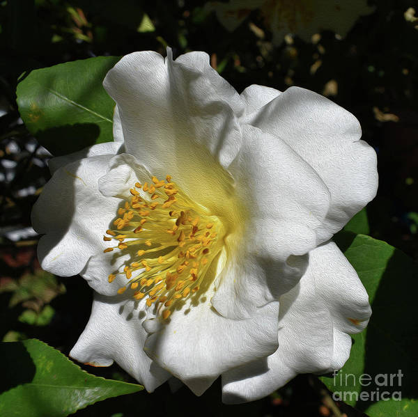 Painted White Camelia Poster