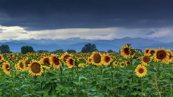 Poster featuring the photograph Sunflowers Under A Stormy Sky by John De Bord