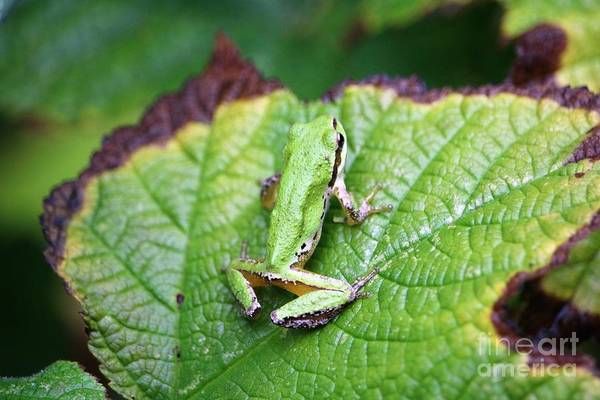 Tree Frog On Leaf Poster
