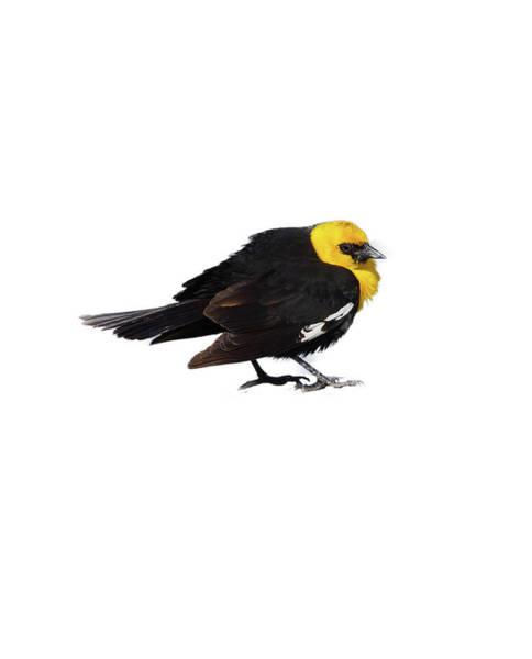 Yellow Headed Blackbird   Poster