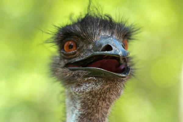 Australian Emu Outdoors Poster