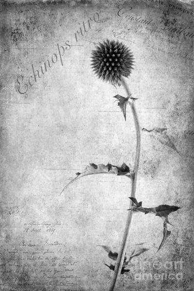 Echinops Ritro Poster