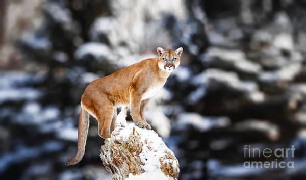 Portrait Of A Cougar, Mountain Lion Poster
