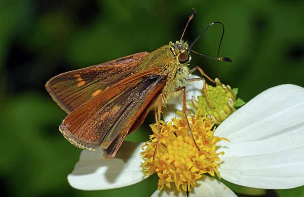 Skipper Butterfly Poster