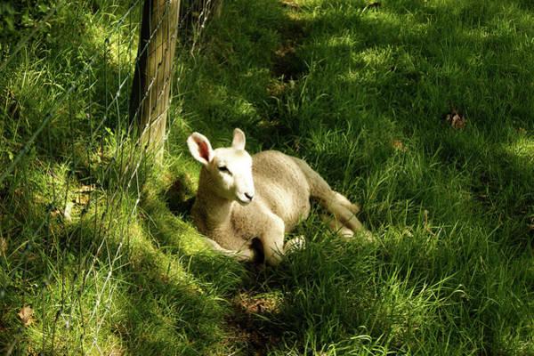 20/06/14  Keswick. Lamb In The Woods. Poster