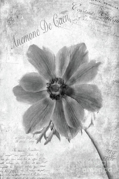Anemone De Caen Poster