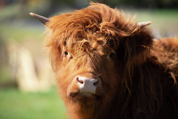 Highland Cow On The Farm Poster