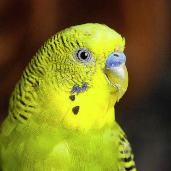 Portrait Of Budgie Birds Poster