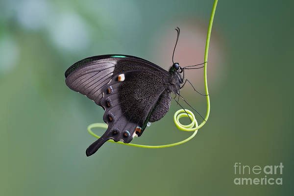 A Butterfly Is A Mainly Day-flying Poster