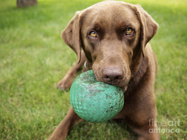 A Chocolate Labrador Holds A Green Ball Poster