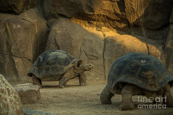 A Giant Galapagos Turtles On A Walk Poster