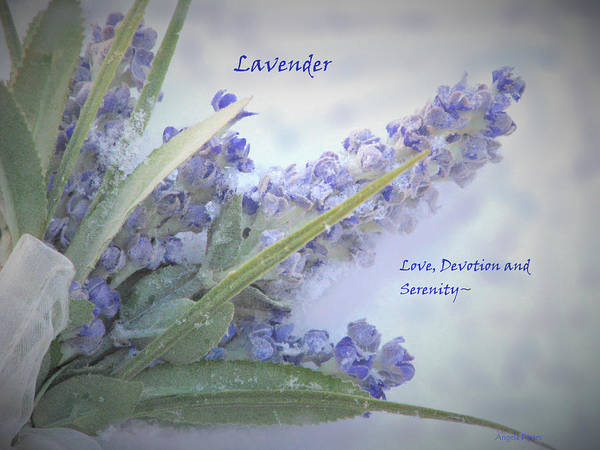 A Gift Of Lavender Poster