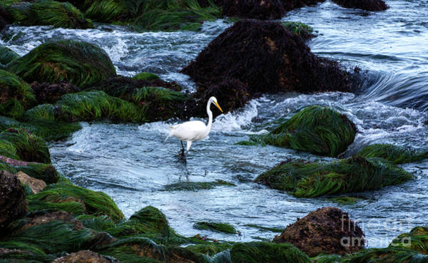 A Great Egret Watches The Incoming Tide Poster