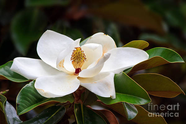 A Large, Creamy White Southern Magnolia Poster
