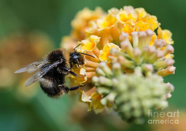 A Macro Shot Of A Bumblebee Enjoying Poster