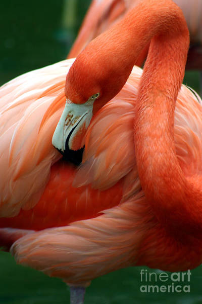 A Pink Flamingo Grooming Herself At Sea Poster