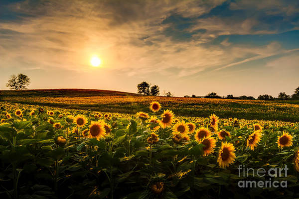A View Of A Sunflower Field In Kansas Poster