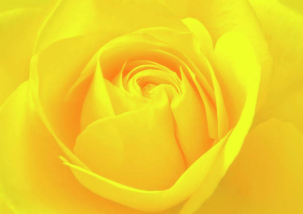 A Yellow Rose For Joy And Happiness Poster