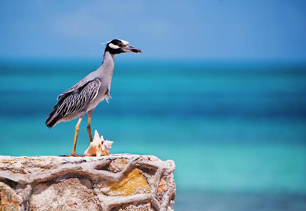 Adult Yellow-crowned Night-heron At Poster