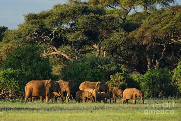 African Bush Elephant - Loxodonta Poster