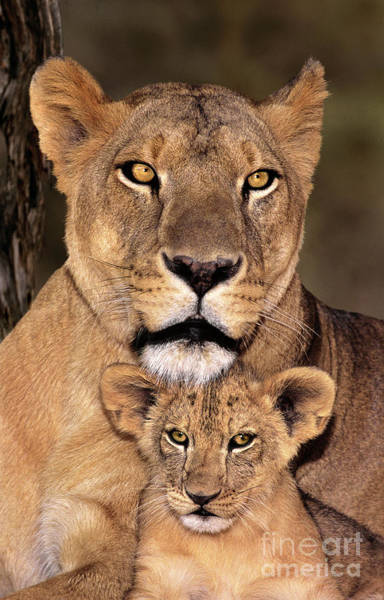 African Lions Parenthood Wildlife Rescue Poster