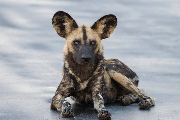 African Wild Dog Resting On A Road Poster