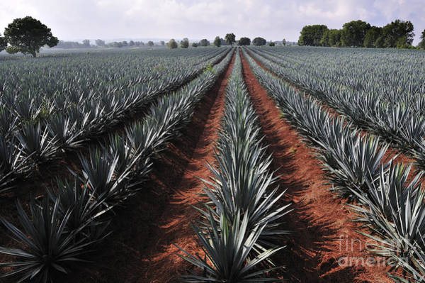 Agave Field For Tequila Production Poster