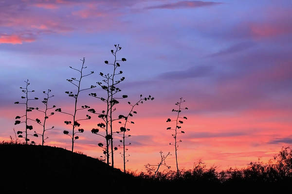 Poster featuring the photograph Agave Sunset 1 by Dawn Richards