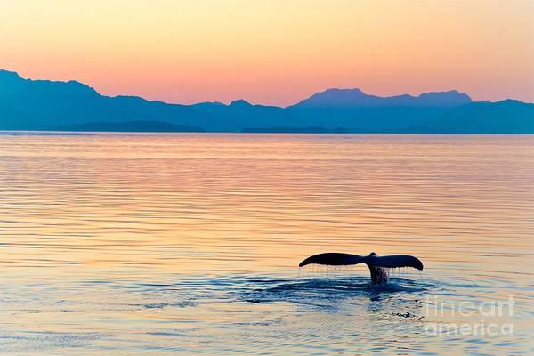Alaska Whale Tail Sunset Poster
