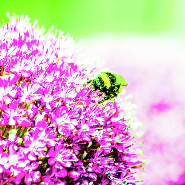 Allium With Bee 3 Poster