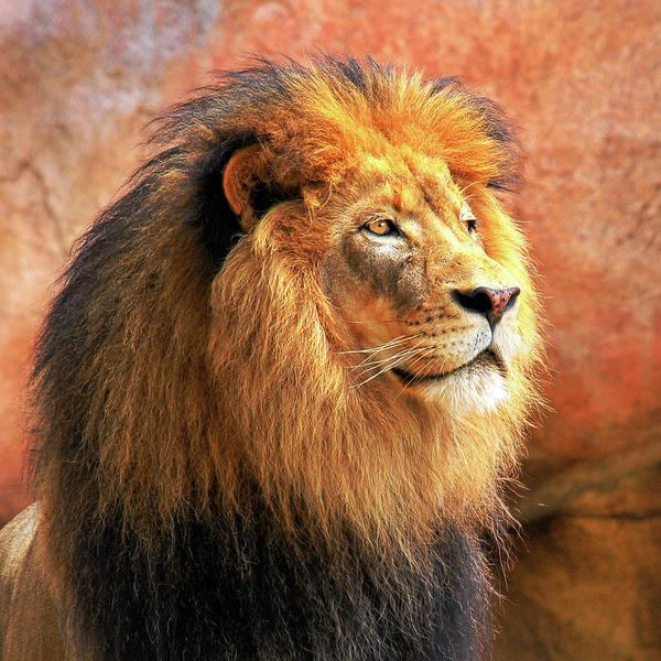 Alpha Male Lion Poster