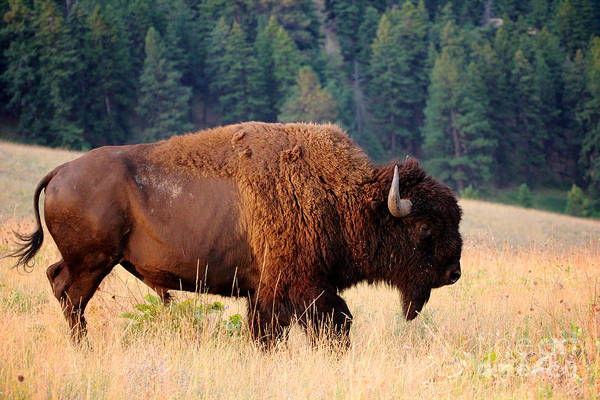 American Bison Buffalo Side Profile Poster