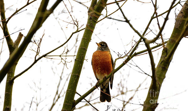 American Robin Perching In A Wintertime Tree Poster