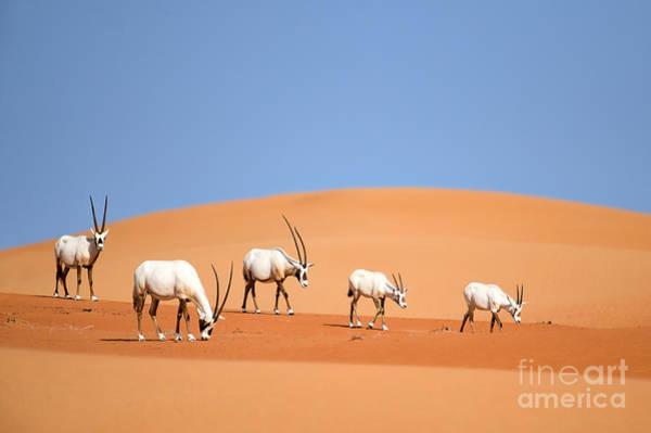 Arabian Oryx Family Poster